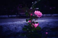 Rosa rosa di fioritura con i precedenti bluastri Fotografia Stock