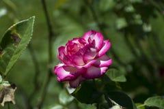 Rosa rosa e bianca splendida in piena fioritura Fotografie Stock Libere da Diritti