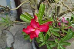 Rosa rosa färgöken eller impalalilja Arkivfoto