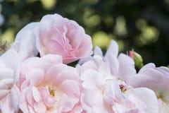 Rosa rosa färger Royaltyfria Foton