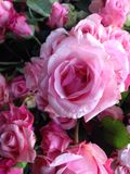 Rosa rosa färger Royaltyfria Bilder