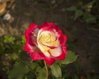 rosa rosa för porslin chinensis jacq Arkivbilder
