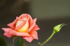 rosa rosa för porslin chinensis jacq Arkivbild