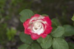 rosa rosa för porslin chinensis jacq Royaltyfri Bild