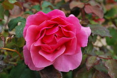 Rosa rosa fiorita Fotografia Stock