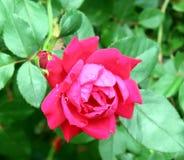 Rosa rosa scura con le gocce di rugiada Immagini Stock