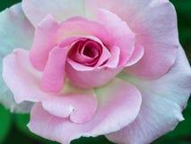 Rosa rosa sulla terra Immagini Stock Libere da Diritti