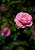 Rosa rosa verticale Fotografia Stock