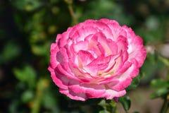 Rosa rosada de la magenta en el jardín Imagen de archivo libre de regalías