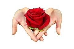 Rosa rosada delicada sostenida cariñosamente en dos manos, fondo blanco aislado con la trayectoria de recortes imagenes de archivo