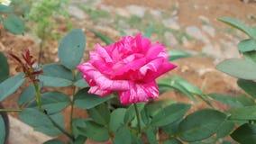 Rosa rosada doble hermosa natural del color fotografía de archivo