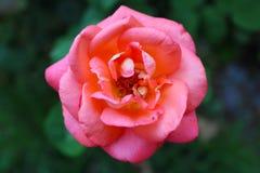 Rosa rosada hermosa y hojas verdes imagen de archivo