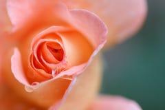Rosa rosafarben, Nahaufnahme Stockbild