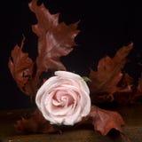 Rosa rosafarben u. autum Blätter Stockfotos