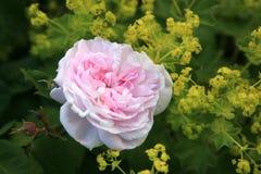 Rosa rosafarben und Alchemilla. lizenzfreie stockbilder