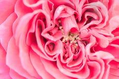 Rosa rosafarbenes Blumenblatt, Naturabstrakter begriff Stockbild