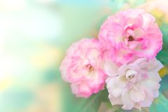 Rosa rosblomma som blommar i trädgårds- vårsäsong med mjukt pastellfärgat signal- och kopieringsutrymme för text, Royaltyfri Bild