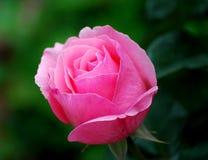 Rosa Rose Stockfoto