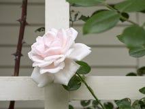 Rosa Rose auf einem weißen Gitter stockfoto