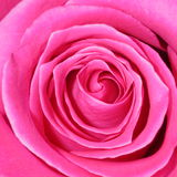Rosa Rose Background - blommamaterielfoto Royaltyfri Foto