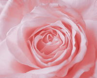 Rosa Rose Background - Blumen-Fotos auf Lager Lizenzfreie Stockbilder