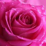 Rosa Rose Background - Blumen-Fotos auf Lager Lizenzfreies Stockfoto