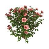 rosa Rose Bush White del ejemplo 3D Fotos de archivo libres de regalías