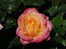 Rosa Rose an Butchart-Garten lizenzfreies stockbild