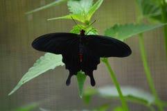 Rosa Rose Butterfly de Asia Imagen de archivo libre de regalías