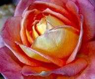 Rosa/Rose Close-Up colorida laranja imagens de stock royalty free