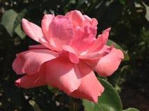 Rosa Rose in der Natur stockbild