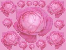 Rosa Rose des Kohls, alter Garten stieg, Centifolia stieg Anordnungstapete Lokalisiert auf rosa Hintergrund lizenzfreie abbildung