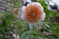 Rosa Rose On eine Rebe Stockfotos