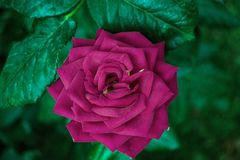 Rosa Rose es an einem hellen Tag stockfotografie