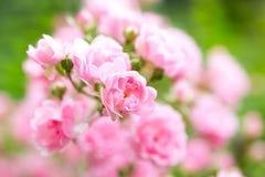 Rosa Rose Garden Guling- och rosa färgfärg Royaltyfri Bild