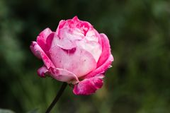 Rosa Rose am Garten Lizenzfreies Stockbild
