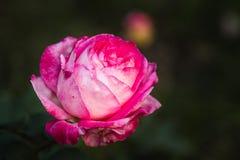 Rosa Rose am Garten Stockfotografie
