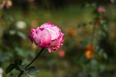 Rosa Rose am Garten Lizenzfreie Stockfotos