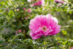Rosa Rose Heidetraum i blom, closeup Royaltyfri Fotografi