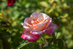 Rosa Rose mit einer Andeutung von Gelbem und von weißem stockfotos