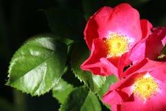 Rosa Rose mit Grün-Blättern auf einem dunklen Hintergrund lizenzfreie stockbilder