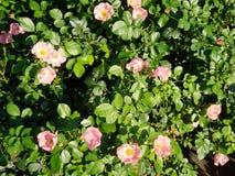 Rosa Rose& x27; s-buske arkivbild