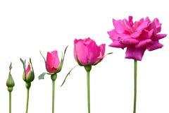 Rosa Rose wachsen das Isolat mit 5mal auf weißem Hintergrund stockbilder