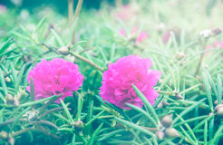 Rosa rosemoss Royaltyfri Fotografi