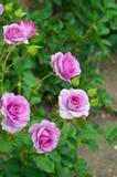 Rosa Rosen in der Blüte Stockbild
