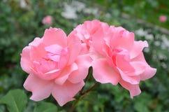 Rosa Rosen in der Gartennahaufnahme Stockfoto