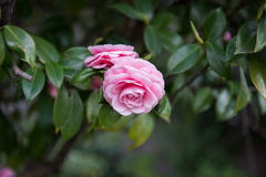 Rosa Rosen im Baum stockfotos