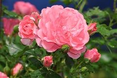 Rosa Rosen im Regen stockfotos