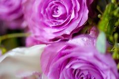 Rosa Rosen mit Tautropfen Stockbilder