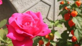 Rosa Rosen- und Physalisblumen Stockfoto